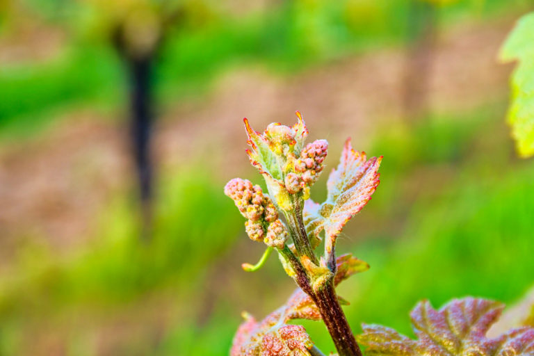 Come See Bud Break and enjoy a beautiful spring in the Walla Walla Valley